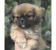 Tibetian Spaniel  puppies for sale.