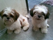 SHIH TZU  EXCELLENT QUALITY PUPPIES FOR SALE