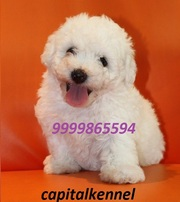 BICHON FRISE  EXCELLENT QUALITY PUPPIES FOR SALE @ 9999865594