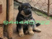 TOP BREED GSD PUP FOR SAEL - 22386566