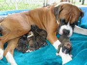 brindle colour boxer pup for sale - 22386566