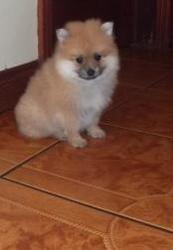 POMERANIAN Puppies For Sale SHRADDHAKENNEL @ 9540702606