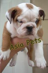 BULLDOG  Puppies  For Sale  ® 9911293906