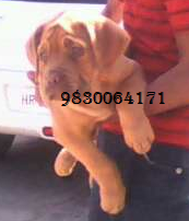 French Mastif (Dogue De Bordeaux) PUPPIES FOR SALE AT 9830064171
