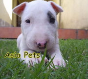 BULLTERRIER PUPPIES FOR SALE In Chandigarh