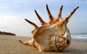 Retail Nature Rare SeaShell from Vietnam sea South China Sea