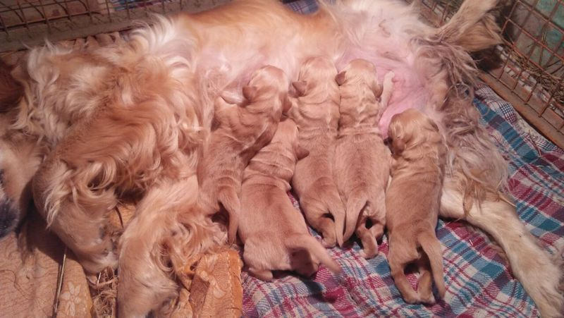Golden Retriever Breed Puppies In Chandigarh Punjab Chandigarh