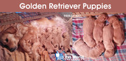 Golden Retriever breed puppies in Chandigarh & Punjab