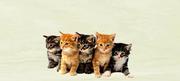 Cats For Sale Online in Chandigarh Bangalore Mumbai Delhi Pune
